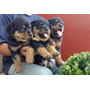 Filhotes Rottweiler - Cabeça De Touro - Alemão - Criadores