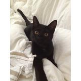 Gato Negro Bebe Macho