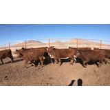 Hermosas Becerras Beefmaster En Venta!!!