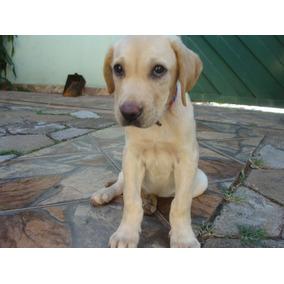 Cachorro Labrador Filhote De 3 Meses