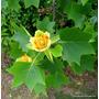 Tulipanero - Árbol De Los Tulipanes - Cañuelas