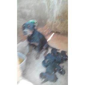 Filhote Rottweiler Cabeça De Touro