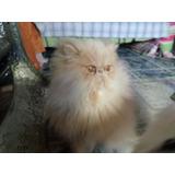 Gato Persa Busca Novia (gatitos Disponibles)