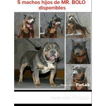 Cachorros Machos Tricolor