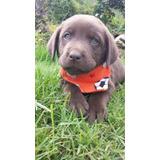 Vendo Cachorro Labrador Macho Puro Ojos Claros Hermoso Vacun