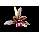 Orquídea Cymbidium Aloifolium