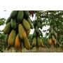 100 Sementes Mamão Formosa Gigante Mais Frete Gratis #zv7j