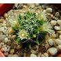 Cactus Exotico Especie Mammillaria Camptotricha