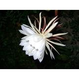 Cactus Flor Blanca-epiphyllum Oxipetalum