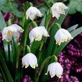 Rarísimos Bulbos De Leucojum Vernum: Listos Para Plantar!!