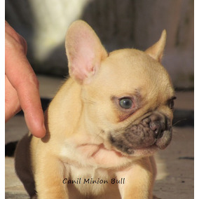 Bulldog Frances Femea Choco Fawn Com Olhos Verdes Top!