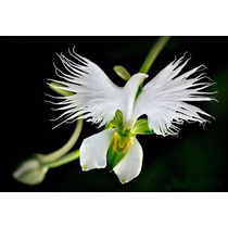 Sementes De Orquídeas Pomba Branca Promoção
