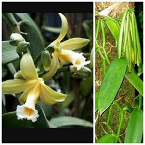 1 Muda De Baunilha Legítima. Raríssima! Bonsai. Orquídea