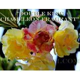 30 Sementes Rosa Do Deserto Mix De 30 Cores Frete Gratis