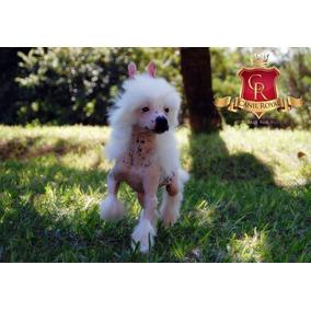Cão De Crista Chines ( Chinese Crested Dog )