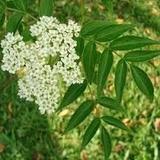Sauco -sambucus Australis -arbusto Autóctono Bs As