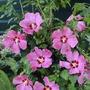 Hibiscus Syriacus Woodbridge Rosa De Siria Planta Exotica