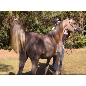 Cavalo Puro Sangue Árabe, Potra Filha Do Campeão Mundial Reg