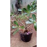 Rosa Do Deserto / Adenium Obesum - Pré-bonsai
