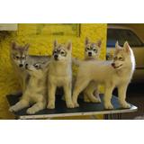 Siberian Husky Hermosos!!!