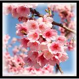10 Semillas De Cerezo Japonés Sakura Prunus Serrulata Bonsai