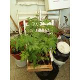 Plantines De Tomate Platense(redondo) Organicos