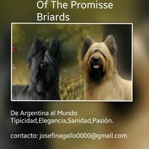 Cachorros .excelente Cachorra Pastor De Brie