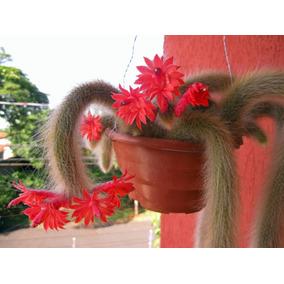 Cacto Rabo Macaco