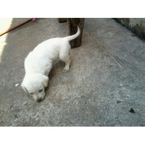 Cachorro Labrador Blanco