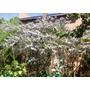 Semillas De Acacia Baileyana Rubra ( 7 U. ) - Color Violeta