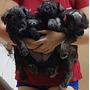 Vendo Hermosos Cachorros Schnauzer Medianos