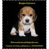 Cachorros Beagles Legitimos