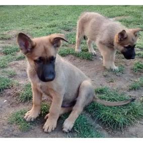 Cachorros Belgas De Malinois Macho Y Hembra Para Su Adopción