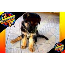 Cachorros Pastor Aleman (sable Y Rojo Fuego) 100% Legitimos