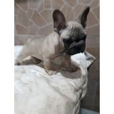 ** Bulldog Frances Hermoso Cachorro Listo Para Entregar