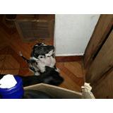 Dogo Aleman Gran Danes Alano Cachorros Perros Pura Puros
