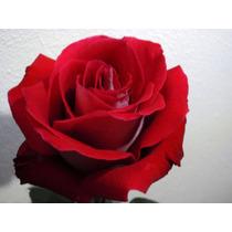Kit C/ 10 Mudas De Rosas Enxertadas Raiz Nua (2 De Brinde)