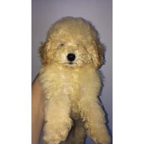 Belíssimo Poodle Macho Micro Toy Abricot Com Pedigree Cbkc