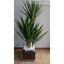Planta Yucca Cachepot De Vidro 30x30x30 Cm