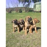 Cachorros Rhodesian