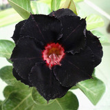 5 Sementes De Rosas Do Deserto Adenium Negras Raras P/ Mudas