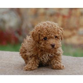 Cachorros Caniche Míni Micro Toy Hembras Y Machos Únicos