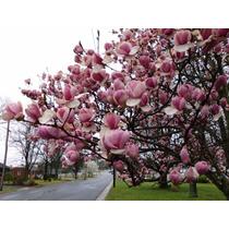 Semillas Arbol Magnolia Purpura Jardin Plantas