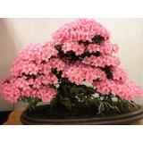 Bonsai Japanese Sakura Semillas 20unid Cherryblossoms Rosa