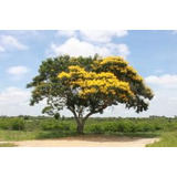 30 Mudas De Sibipiruna No Tubete - Arvore Nativa