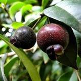 Guabiju Frutal Y Ornamental