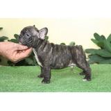 Bulldog Frances La Mas Alta Genetica