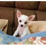 Cachorro Da Raca Chiuaua, Preciso Vender Rápido!!!