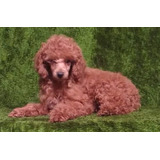 Unico Y Lindo Cachorrito French Poodle Rojo Vino Mini