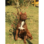 Cobertura American Pit Bull Terrier